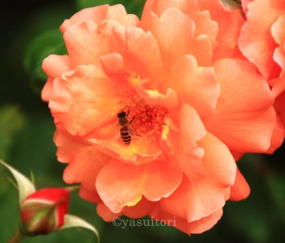 Lebah hinggap di bagian sari bunga