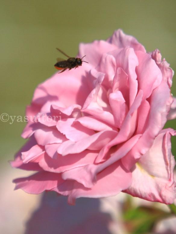 Lebah terbang mendekati sari bunga