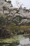 Salah satu bagian taman di dalam kastil Nijo saat sakura mekar