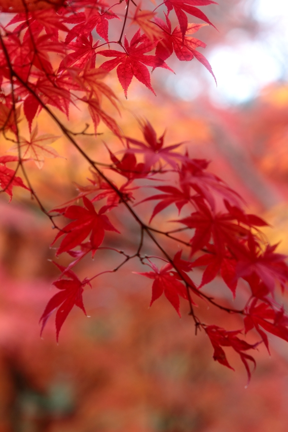 Daun momiji berubah warna menjadi merah pada saat musim gugur