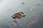 Bebek dikerumuni ikan di kolam kastil